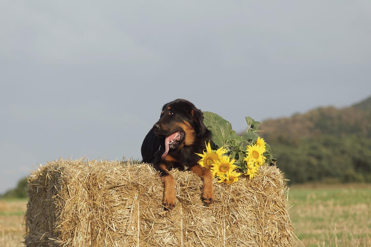 dog, mastiffs, hay